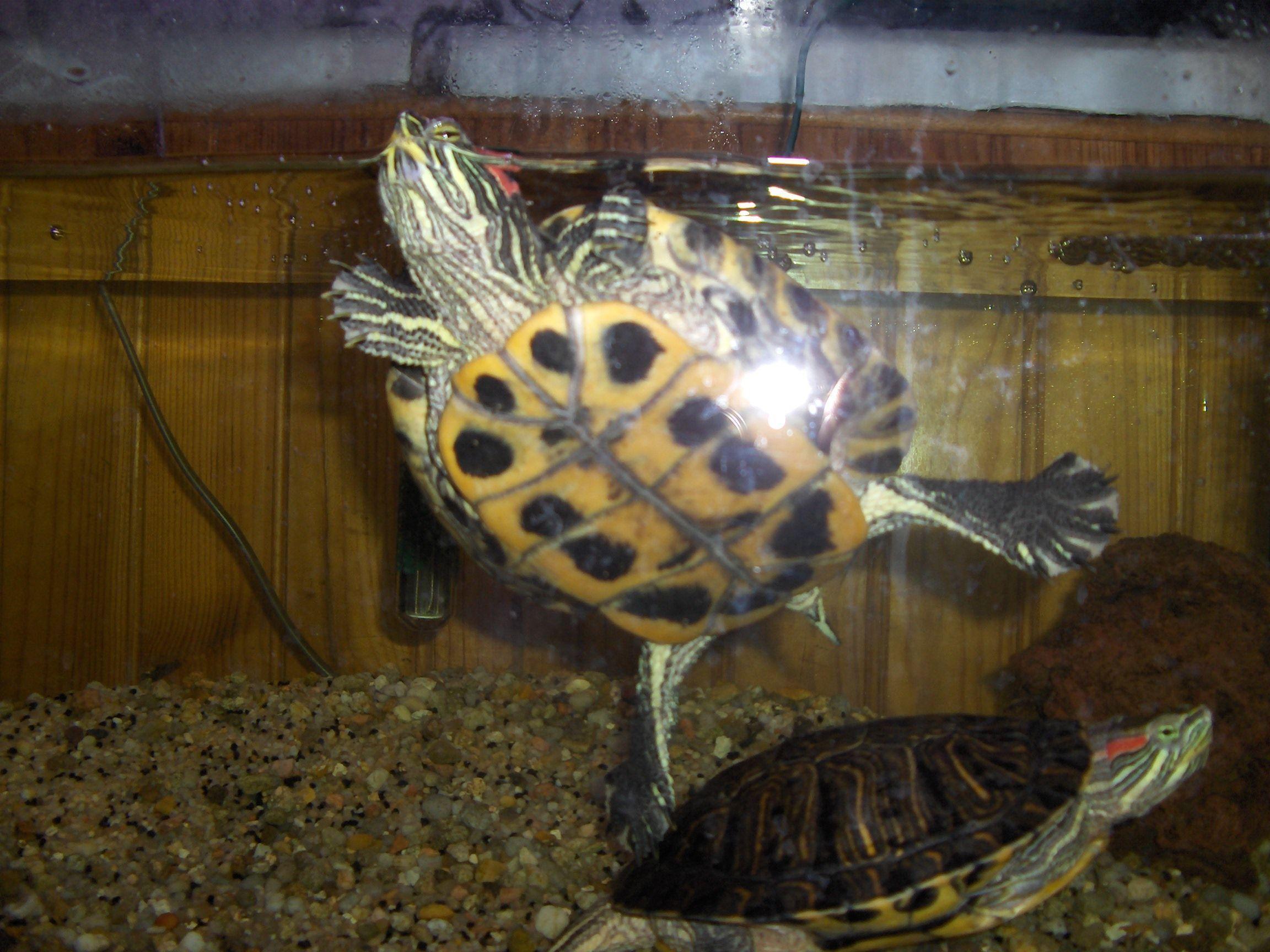 Aquarium pour tortue de floride for Aquarium tortue aquatique